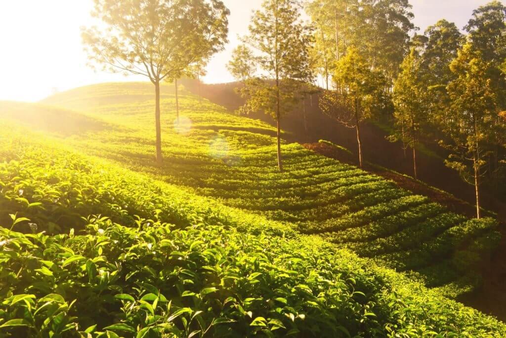 drzewa herbaciane